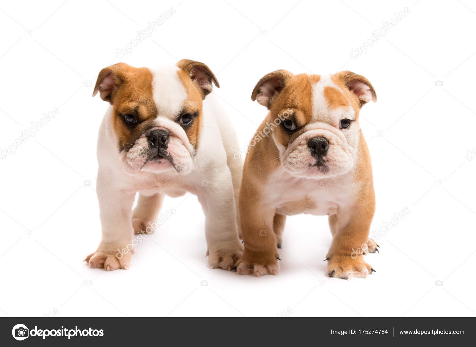 Two English Bulldog Puppies Playing Front White Background