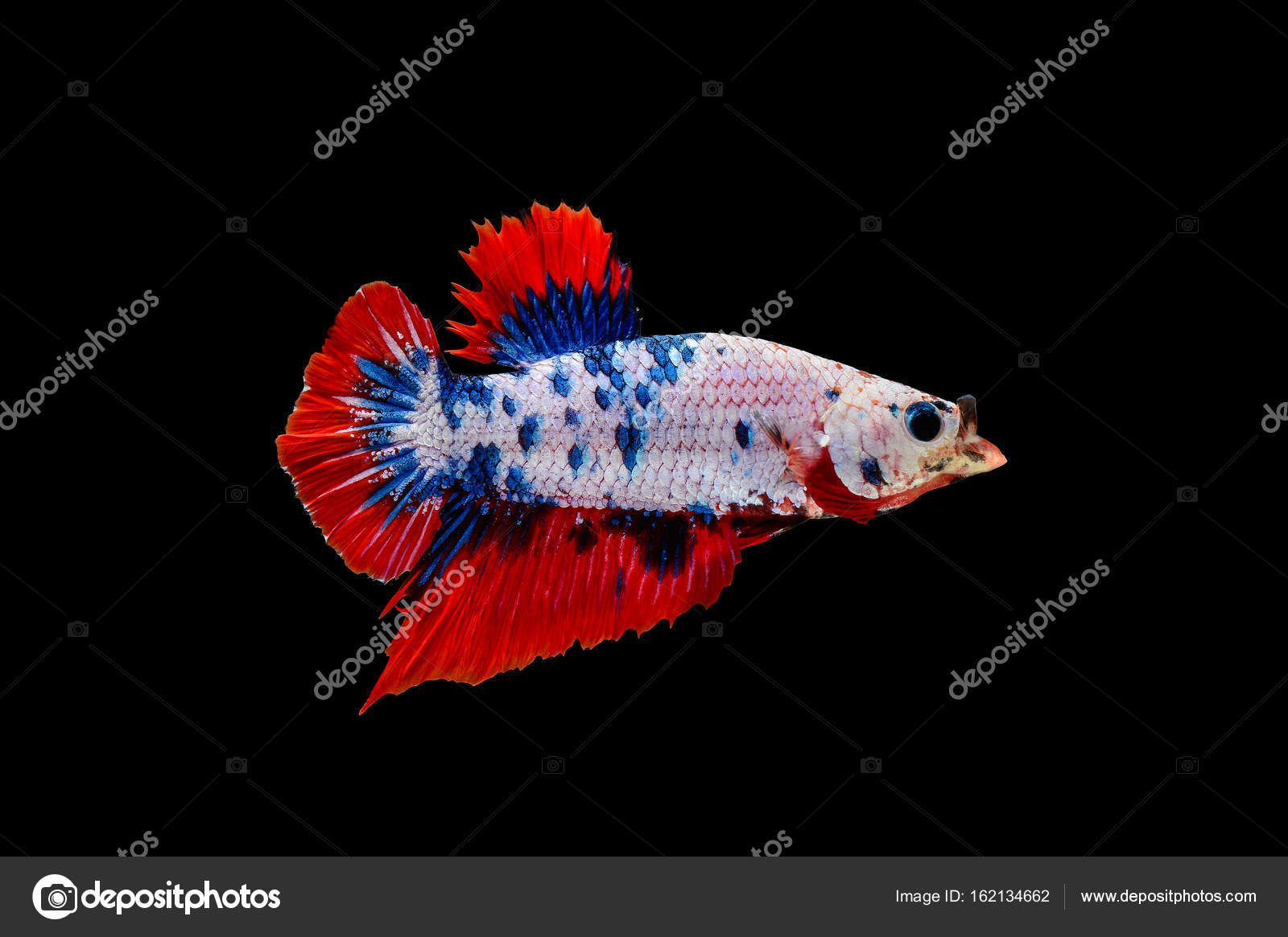 colourful betta fish with open mouth, Siamese fighting fish isolated ...