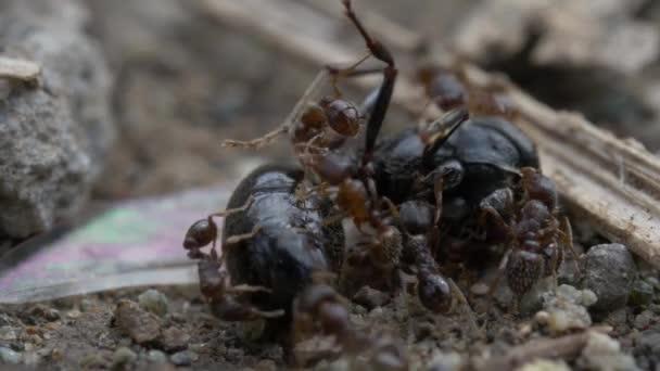 Mravenci jíst velké fly