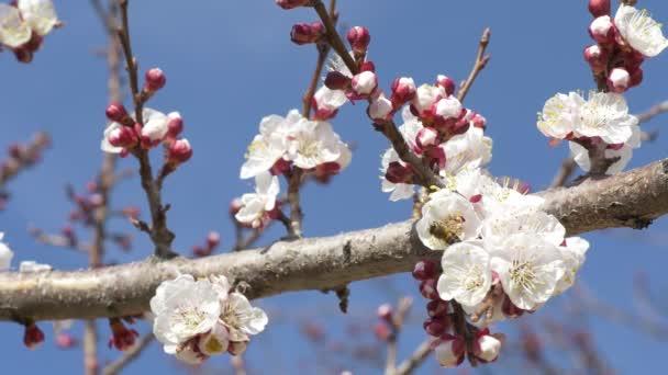 Včely pollinateing meruňkových květů