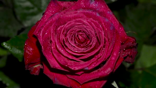 Rose flower closeup. Isolated beautiful rose flower with drops of water.