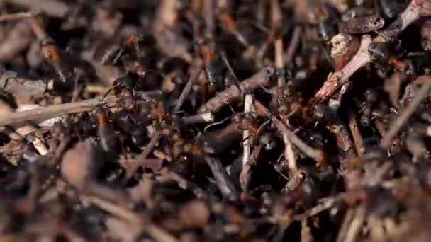 Lots of ants. Colony close up. Insect ant in the wild. Macro life. Organization, going.