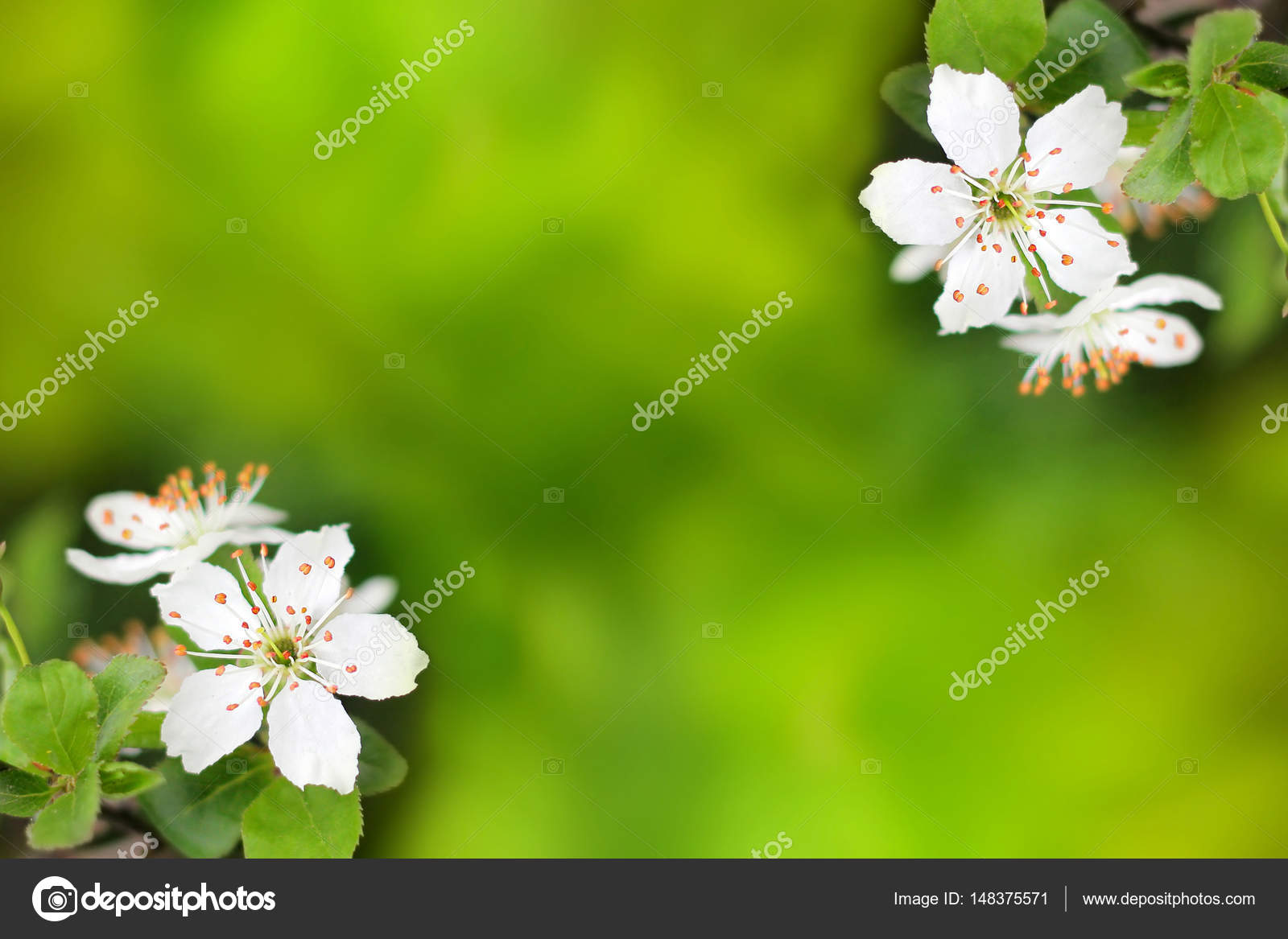 Spring Flowers Blooming White Cherry On A Blurred Green Backgrou