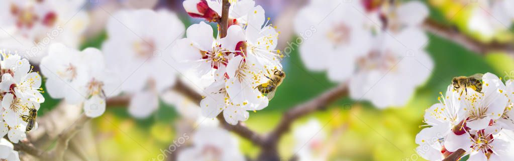 Spring. Bee collects nectar (pollen) from the white flowers of a