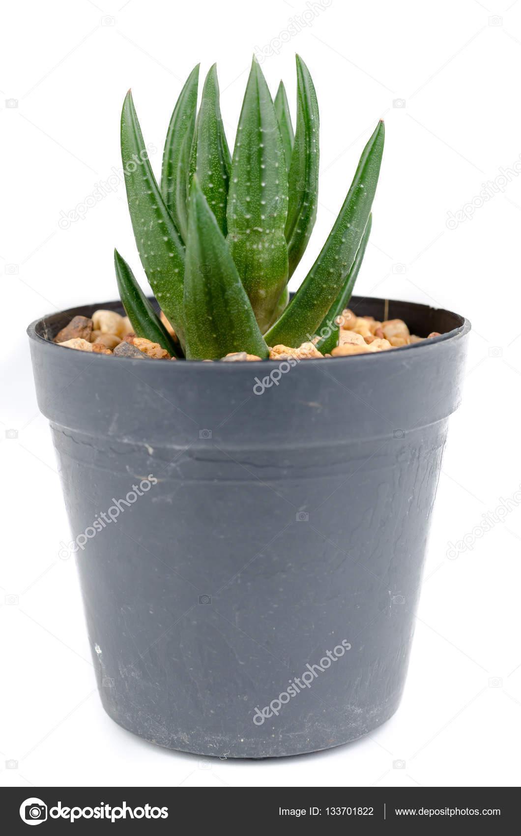 conjunto de pequeos cactus en macetas negras Fotos de Stock
