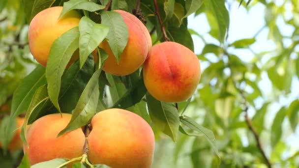 Sárga-narancs őszibarack ág, zöld levelekkel