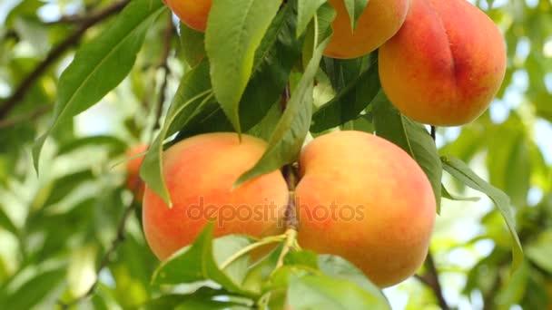 Érett gyümölcs őszibarack fa ága