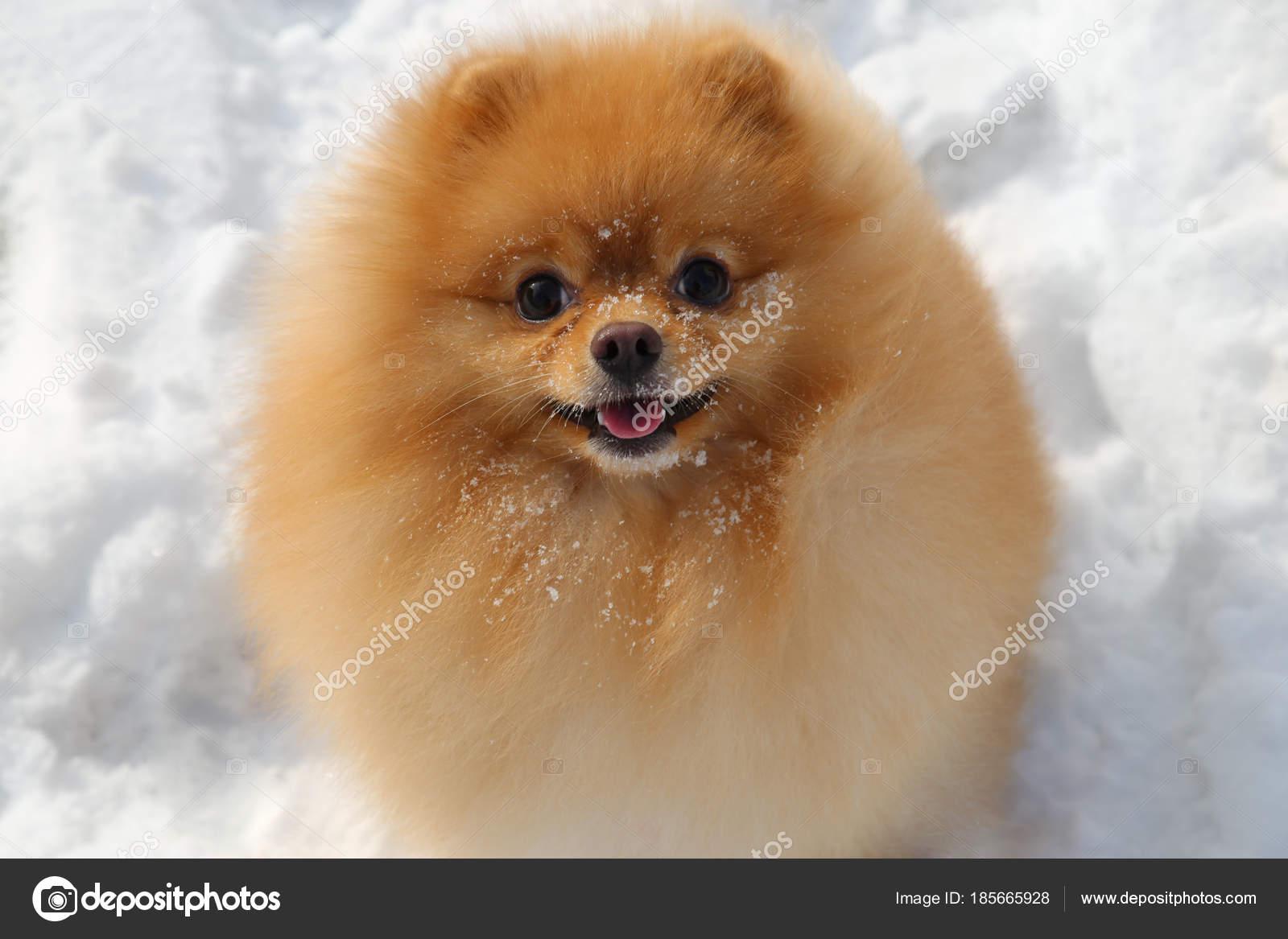 маленькая пушистая собака фото