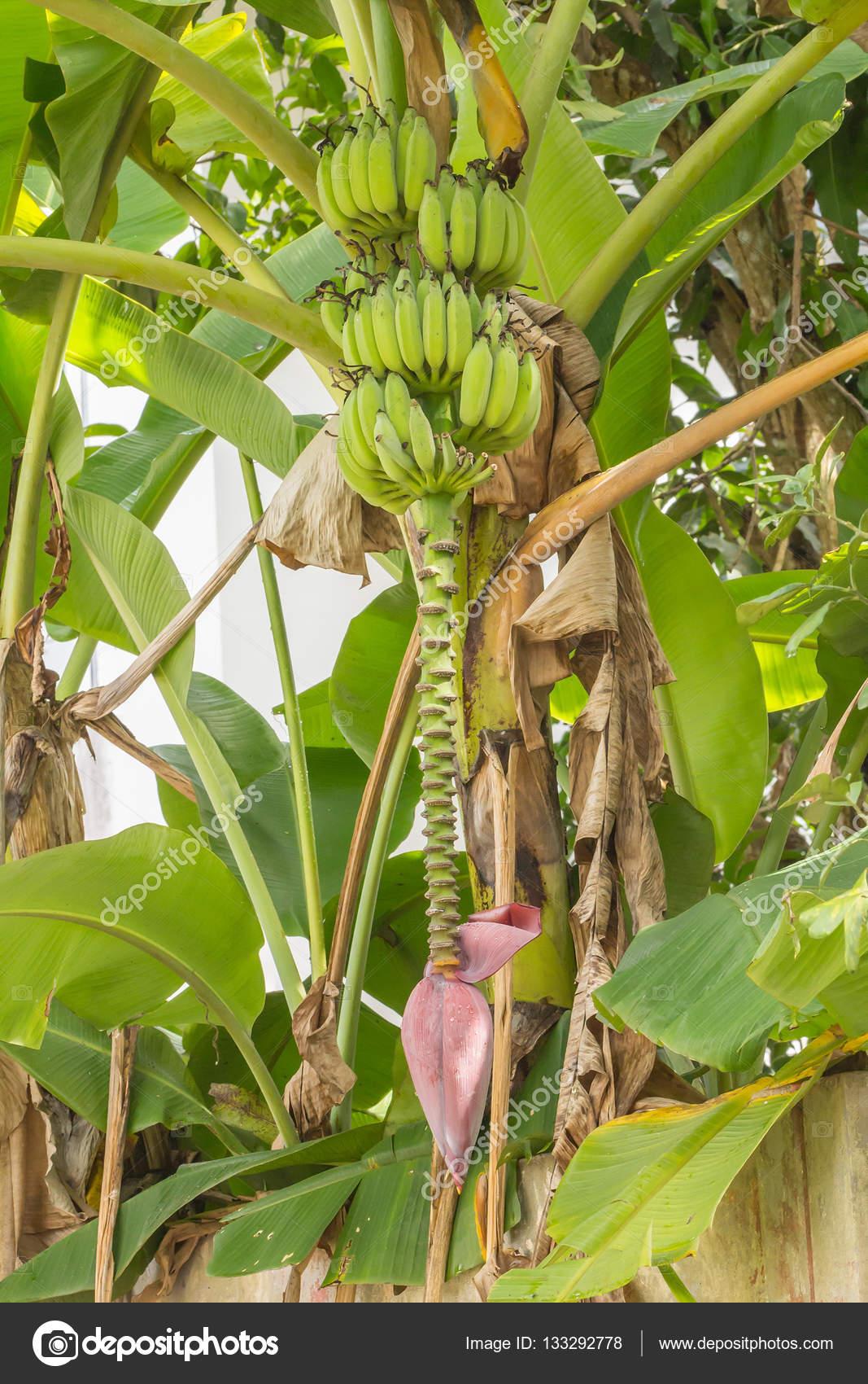 bananier avec bouquet — photographie olovedog1 © #133292778