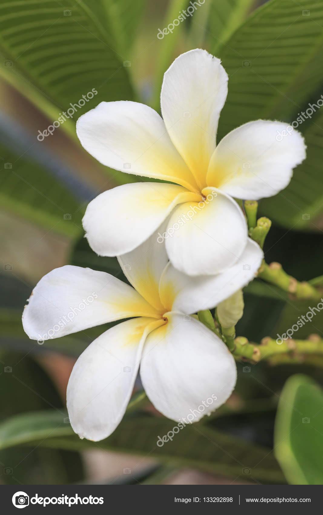 White plumeria tropical flower stock photo olovedog1 133292898 white plumeria tropical flower stock photo mightylinksfo