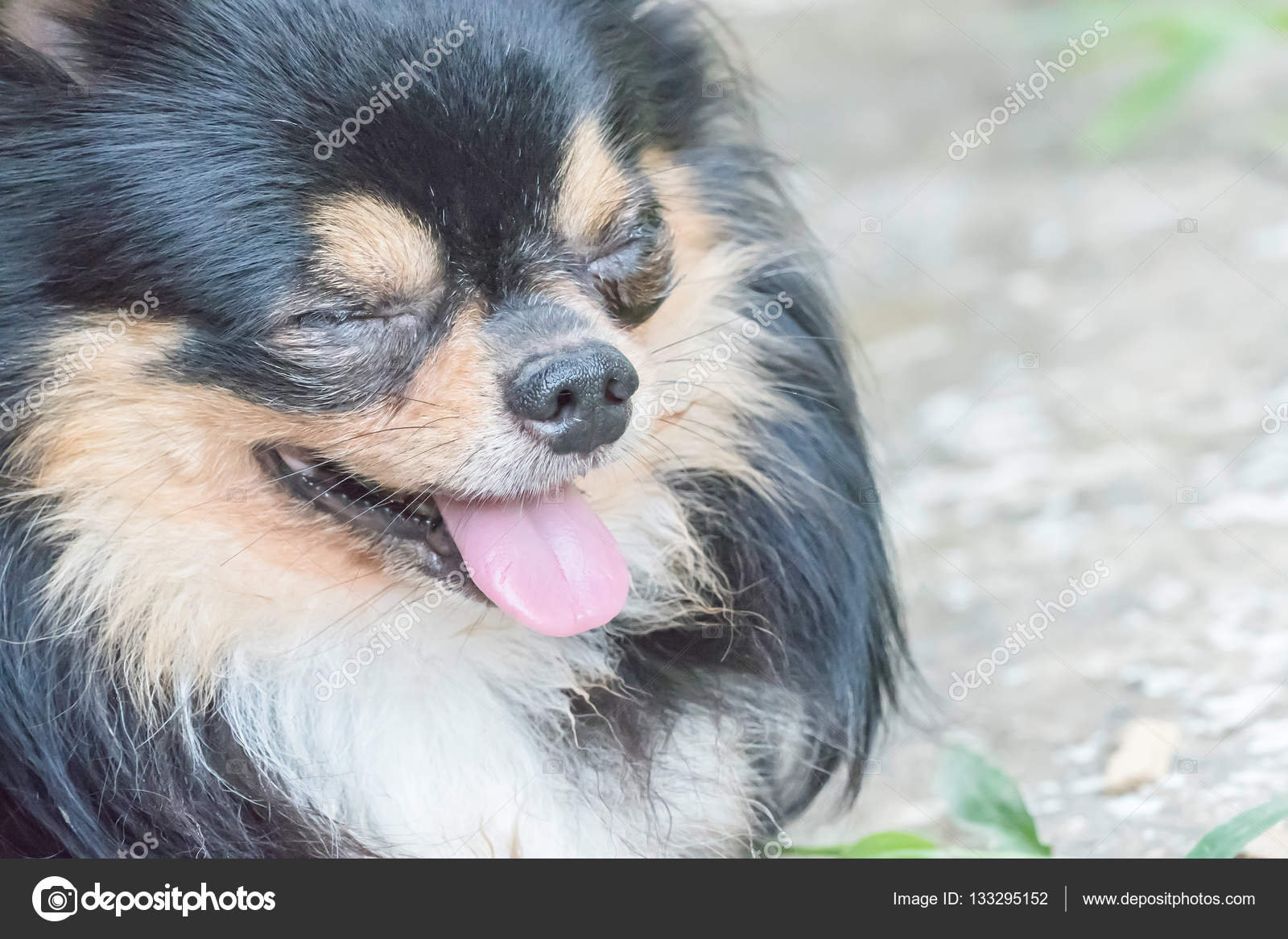 Long Haired Tricolor Chihuahua Dog Stock Photo Olovedog1 133295152