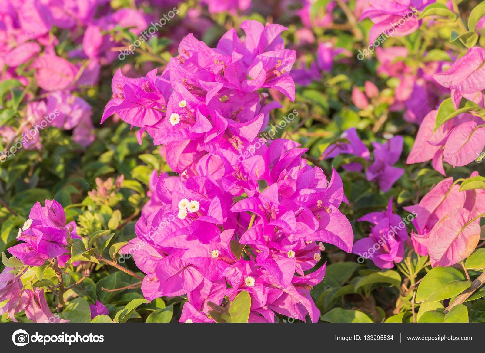 fleur de bougainvillier rose — photographie olovedog1 © #133295534