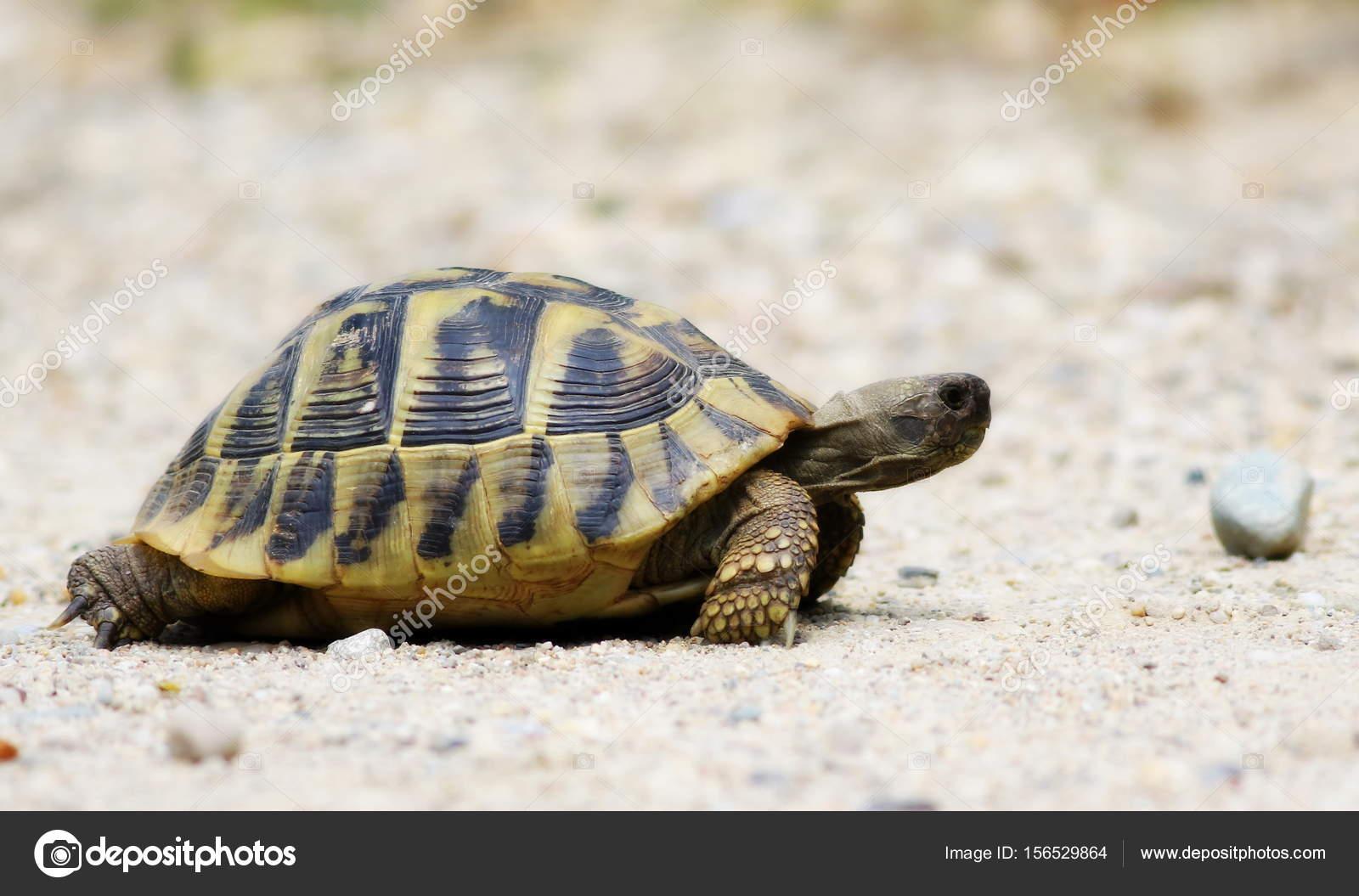 Testuggine di hermann tartaruga su sabbia testudo for Tartaruga prezzo