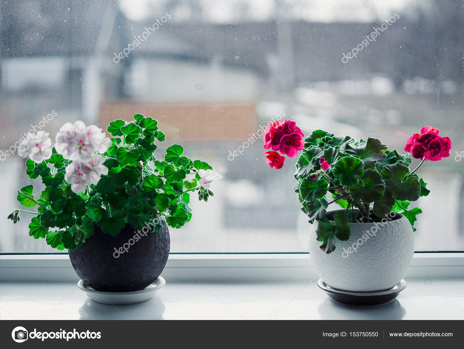 Red And White Flowers In Pots On The White Windowsill Concept