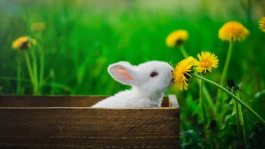 A small white rabbit is sitting in a box and eating a yellow dandelion, against a background of green grass in the garden. Conception: Hungry rabbit.