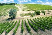 Fotografie Weinberge in der Nähe von der Stadt San Gimignano, Toskana, Italien