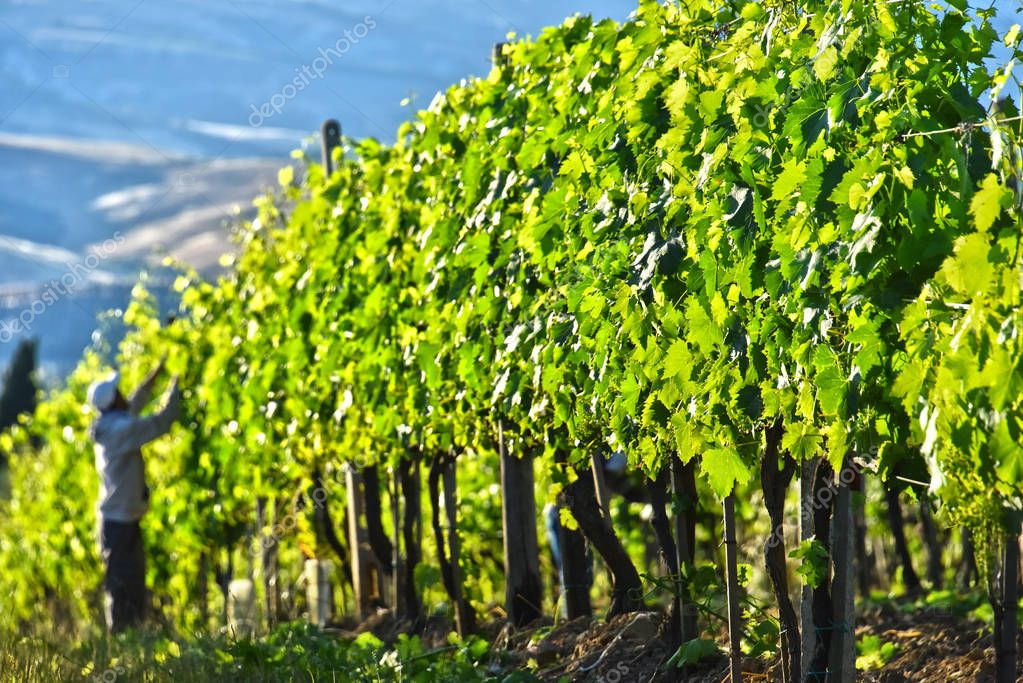 Vineyard near the city of Montalcino, Tuscany, Italy