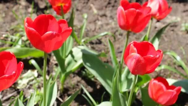 Kvetoucí červené tulipány na jaře. Několik jasných krásných tulipánů detailně na zeleném travnatém pozadí pod širým nebem, poupata se potácejí z mírného poryvu větru
