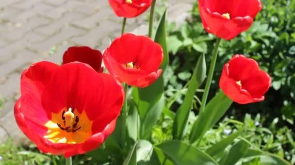 Virágzó vörös tulipán tavasszal. Számos fényes gyönyörű tulipán közelkép egy zöld fű háttér a szabadban, rügyek tántorog az enyhe fuvallat