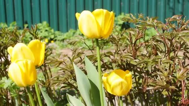 Kvetoucí žluté tulipány na jaře. Několik jasných krásných tulipánů detailně na zeleném travnatém pozadí pod širým nebem, poupata se potácejí z mírného poryvu větru
