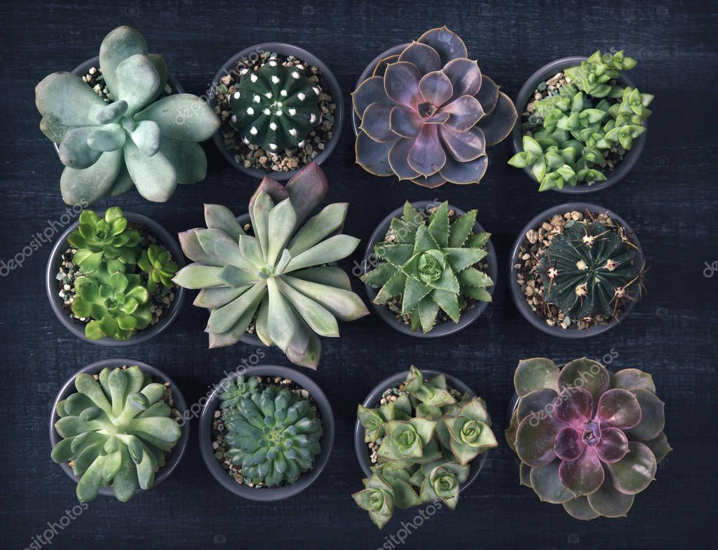 Different succulents on the black