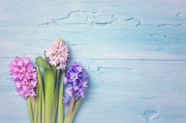 Hyacinth flowers above the blue background stock vector