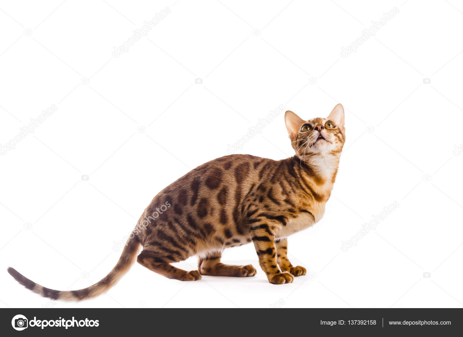 bengal cat kitten brown spotted isolated — Stock Photo © LElik83 ...