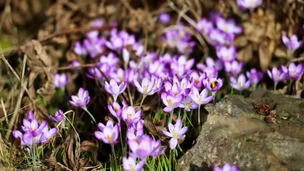 tavaszi virágok hóvirág krókuszok a Park egy