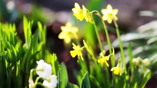 Narcis a velikonoční vajíčka