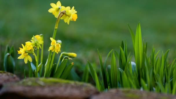 narcissus and easter eggs