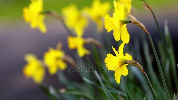 Jarní Narcis a tulipány
