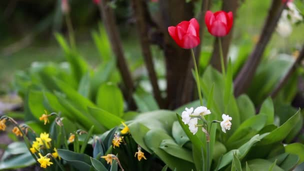 spring narcissus and tulips