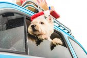 Fotografie White Terrier in car with christmas gifts