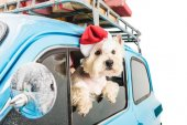 White Terrier v autě s vánoční dárky