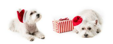 White Terrier in santa hat with gift