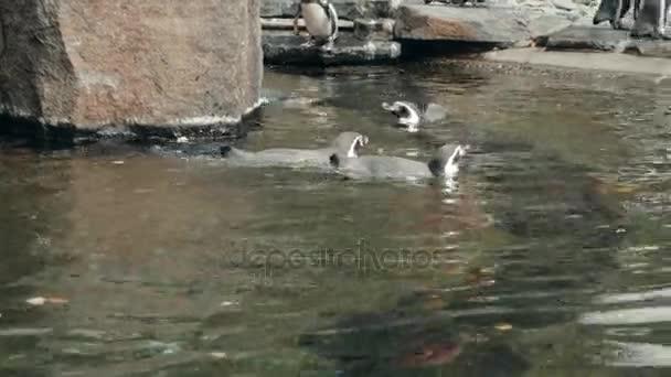 Gruppe von verspielt und sehr soziale afrikanische Pinguine versammeln sich am Rand Wassers In ihrem Lebensraum Gehege in einem öffentlichen Zoo.