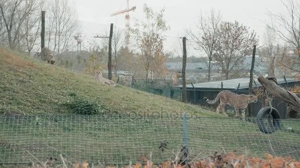 Eine Gruppe von Leoparden paart sich im Zoo-Gehege