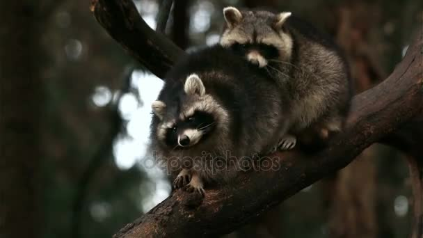 Two raccoons playing and fighting on a tree in nature closeup