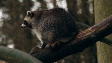 Raccoon sitting on a tree looking around closeup