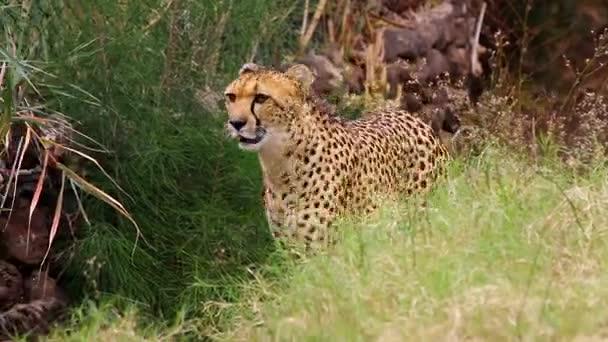 Krásné gepard plazí skrze podrost lov pro potraviny