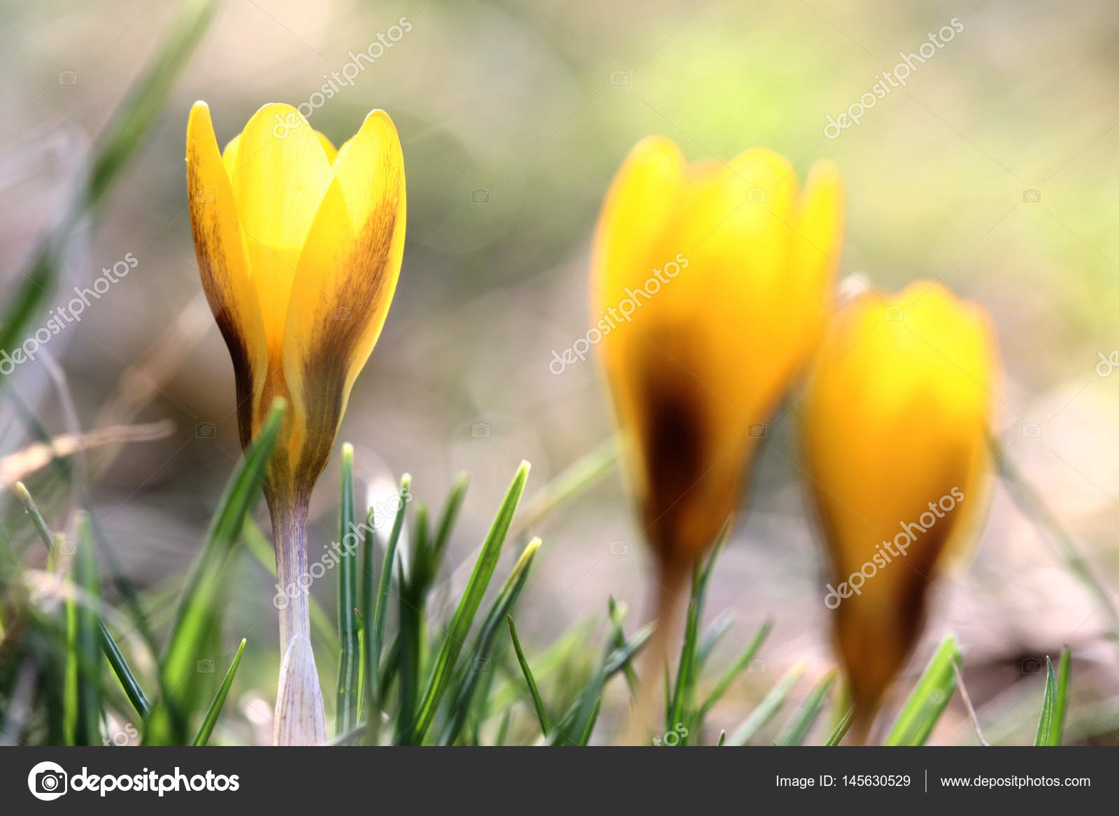 Yellow crocus flowers in field stock photo jeancliclac 145630529 close up view of yellow crocus flowers in field photo by jeancliclac mightylinksfo