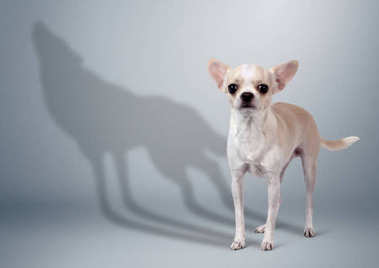 Chihuahua dog with wolf shadow, animal character concept