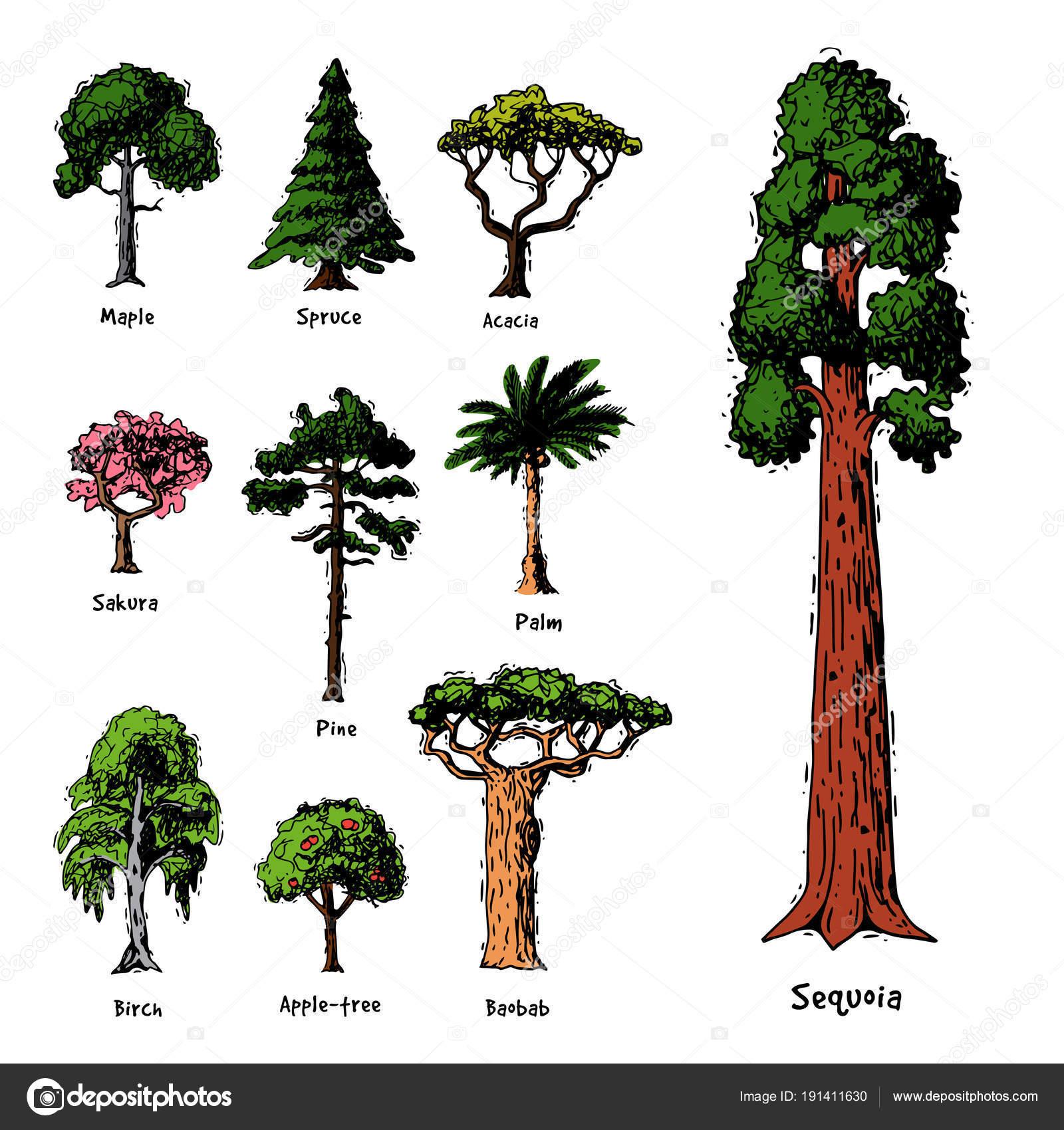 Tipos de rbol vector colecci n de copas de los rboles de for Tipos de pinos para jardin fotos