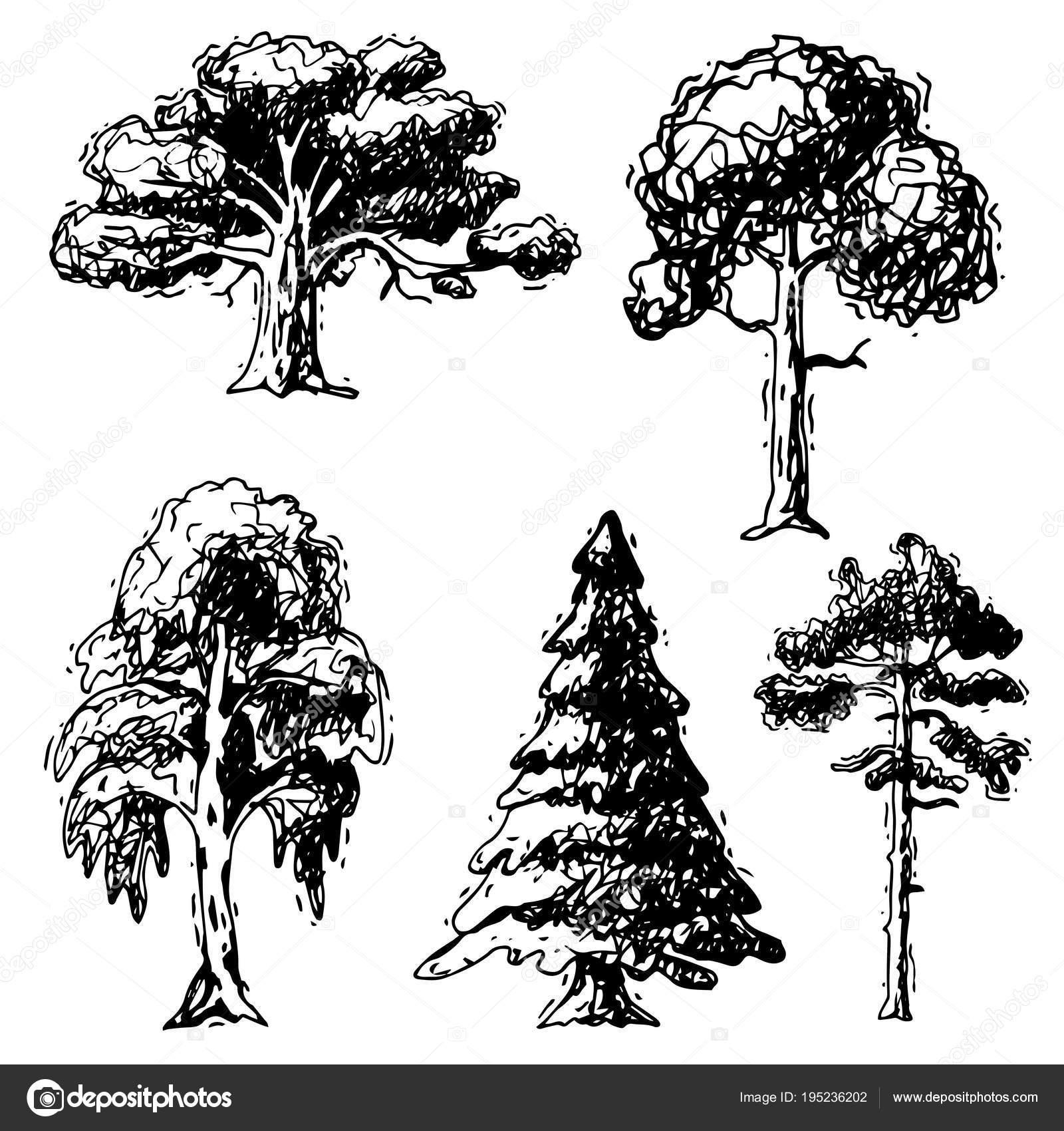 Im genes cedros para dibujar vector rbol bosquejo for Tipos de pinos para jardin fotos