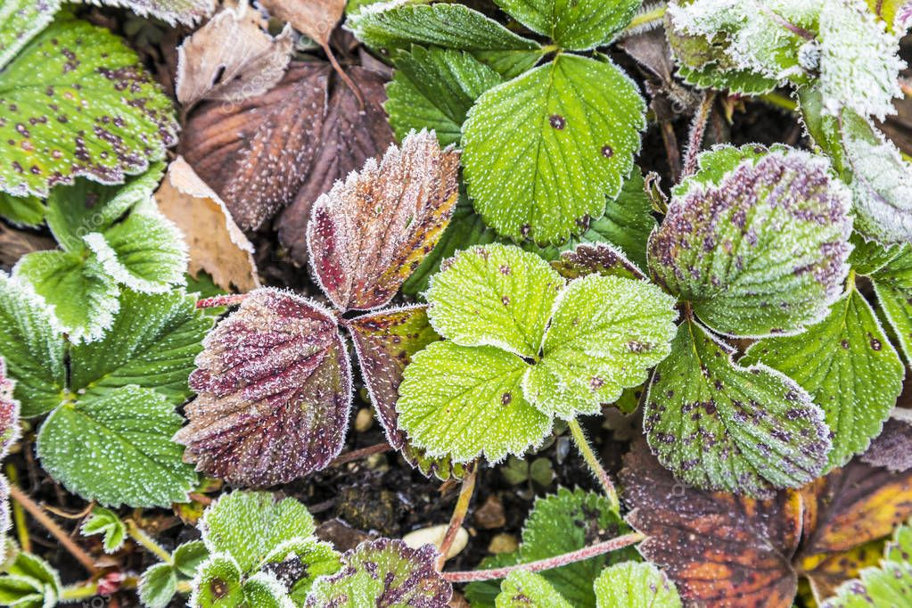 detail of strawberry leaves with hoar frost