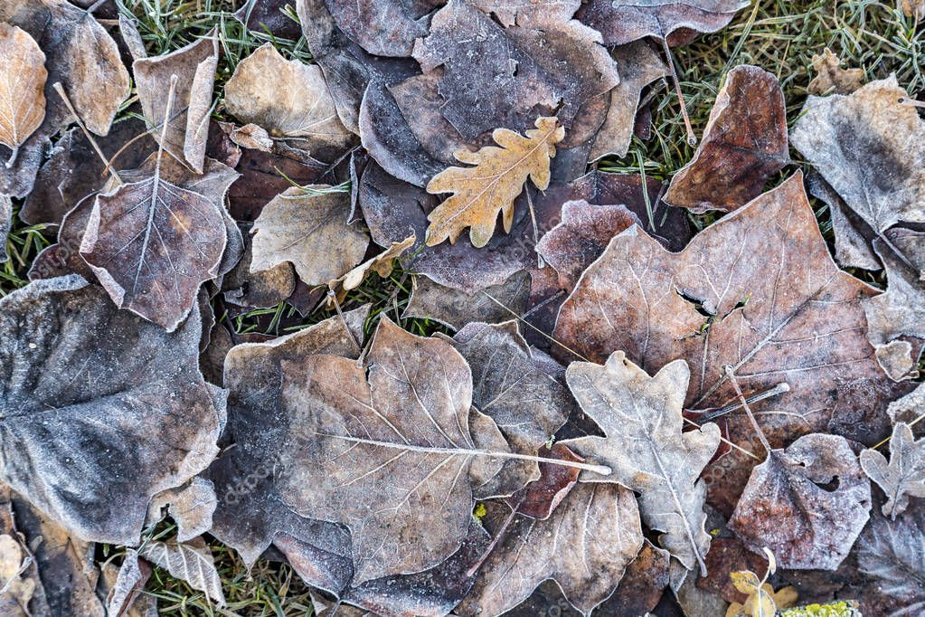 autumn oak leaves with frost