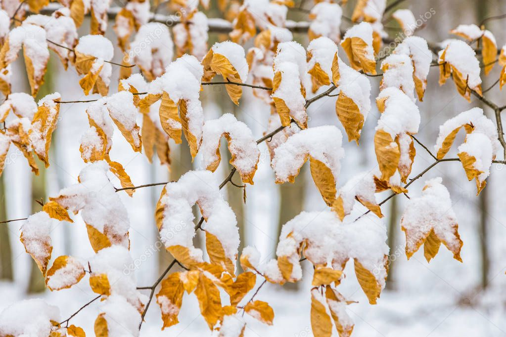 leaves in autumn color covered by snow