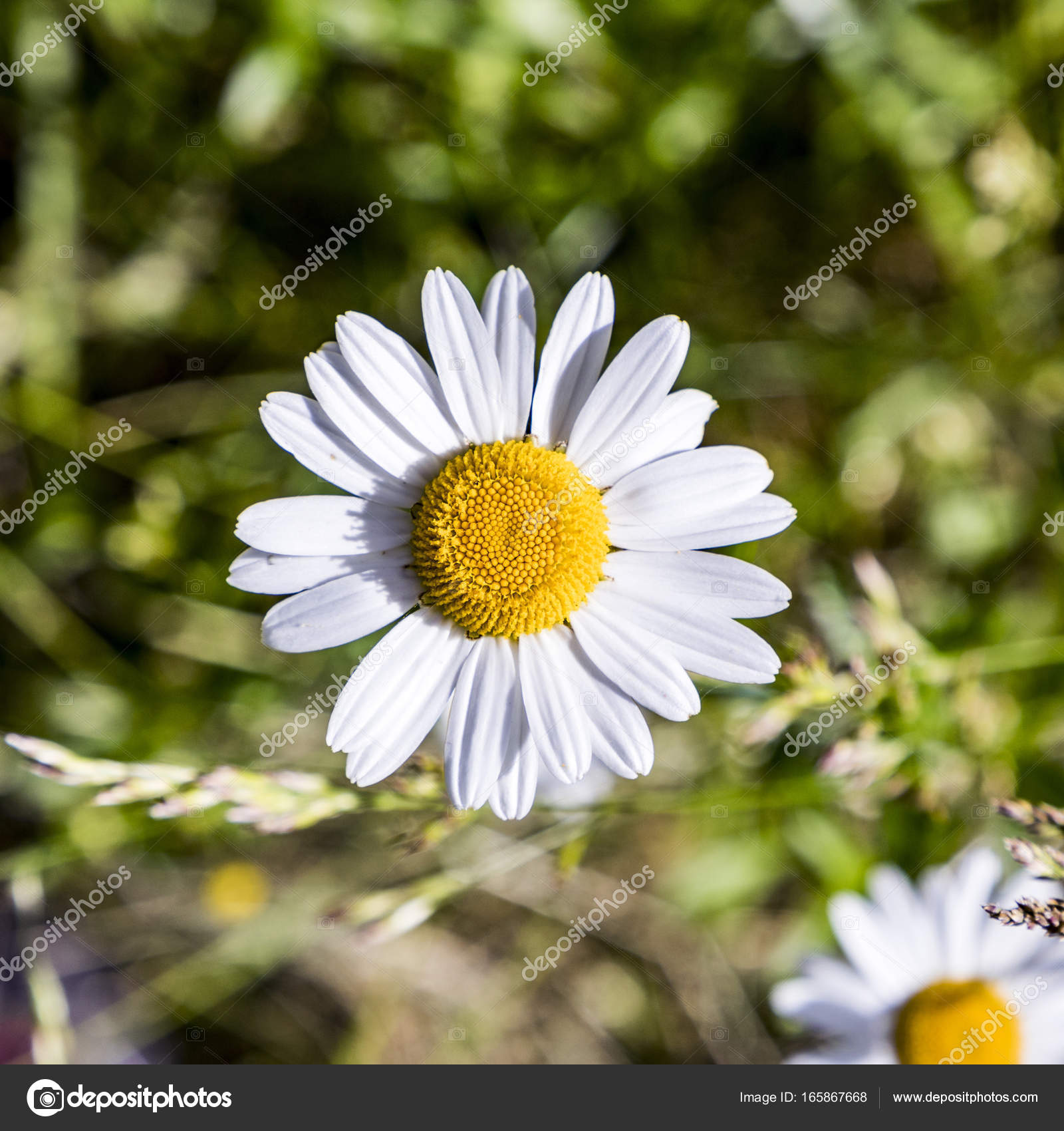 Detail of blooming daisy flower stock photo hackman 165867668 detail of blooming daisy flower at the meadow photo by hackman izmirmasajfo