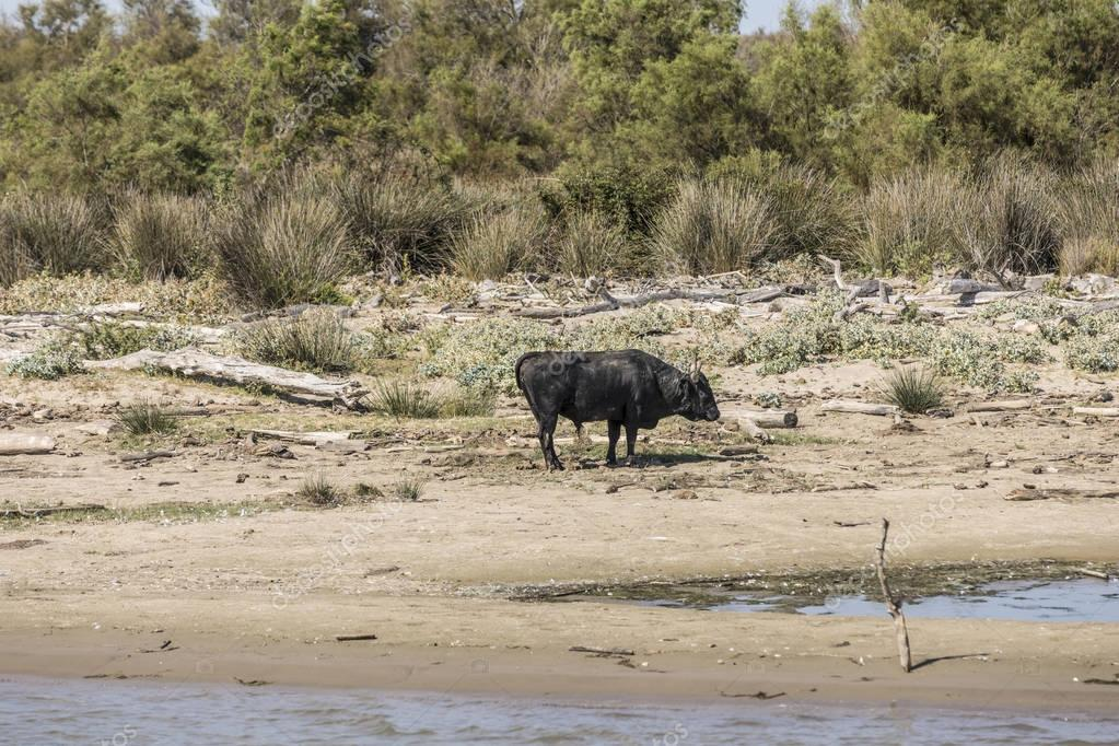 wild bulls praze and rest at a beach in the Rhone delta in the C