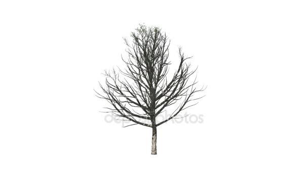 Kvetoucí strom roste, Luma matný připojené
